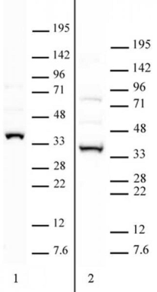 APOBEC2 Rabbit anti-Human, Unconjugated, Polyclonal, Active Motif:Antibodies:Primary