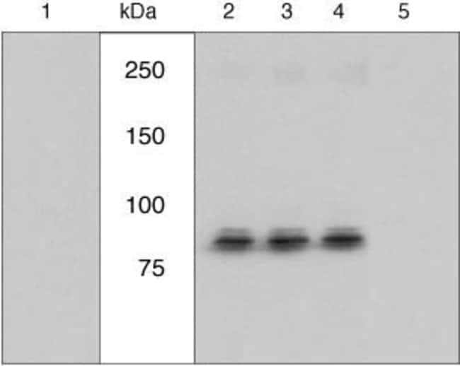 Phospho-RSK1 (Ser221) Rabbit anti-Chicken, Human, Mouse, Polyclonal, Invitrogen