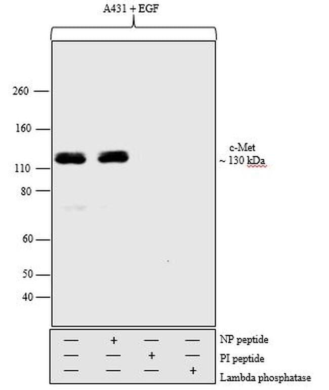 Phospho-c-Met (Tyr1234, Tyr1235) Rabbit anti-Human, Mouse, Polyclonal,