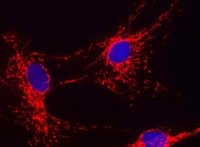 Cytochrome C Mouse anti-Bovine, C. elegans, Human, Mouse, Rat, Clone: RACNo.28-37AB11,