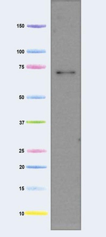 AIF Mouse anti-Human, Clone: 7F7AB10, Invitrogen   100 µg; Unconjugated