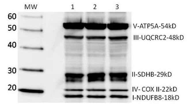 OxPhos  WB Mouse anti-Human, Invitrogen   360 µg; Unconjugated:Electrophoresis,