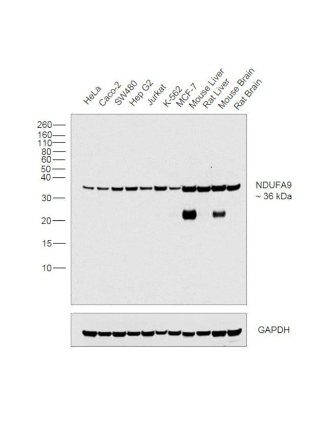 NDUFA9 Mouse anti-Bovine, Human, Mouse, Rat, Clone: 20C11B11B11, Invitrogen™ 100 μg; Unconjugated Primary Antibodies Ci to Cx