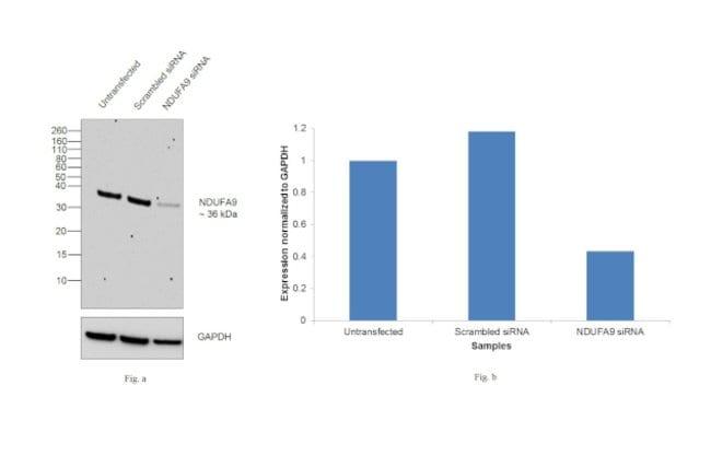 NDUFA9 Mouse anti-Bovine, Human, Mouse, Rat, Clone: 20C11B11B11, Invitrogen