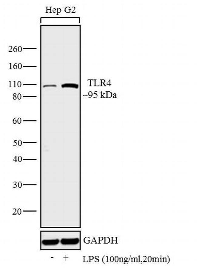 TLR4 Rabbit anti-Human, Mouse, Rat, Polyclonal, Invitrogen   100 µg;