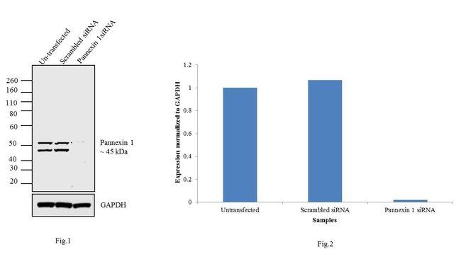 Pannexin 1 Rabbit anti-Mouse, Rat, Polyclonal, Invitrogen   100 µg;