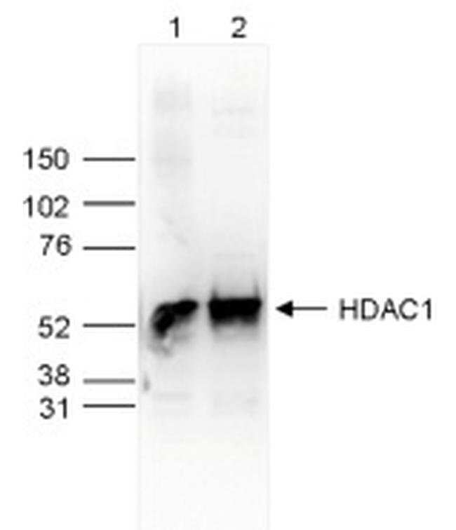 HDAC1 Rabbit anti-Human, Mouse, Polyclonal, Invitrogen  50 µg; Unconjugated