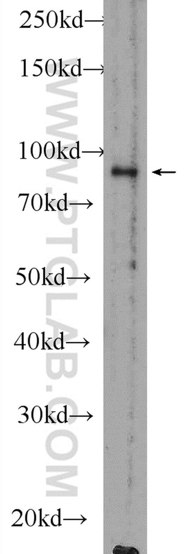 RANBP9 Rabbit anti-Human, Mouse, Polyclonal, Proteintech 150 μL; Unconjugated Ver productos