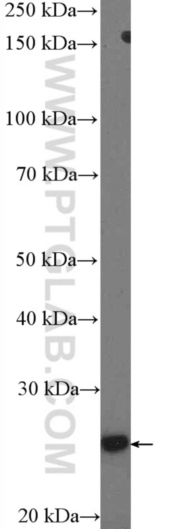 SOX21 Rabbit anti-Human, Mouse, Polyclonal, Proteintech 20 μL; Unconjugated Ver productos