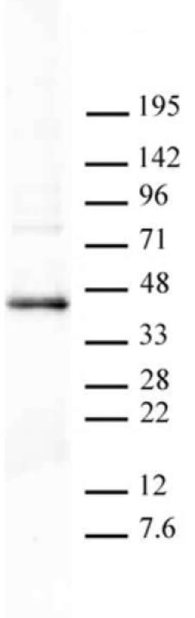 PRMT6 Rabbit anti-Human, Unconjugated, Polyclonal, Active Motif:Antibodies:Primary