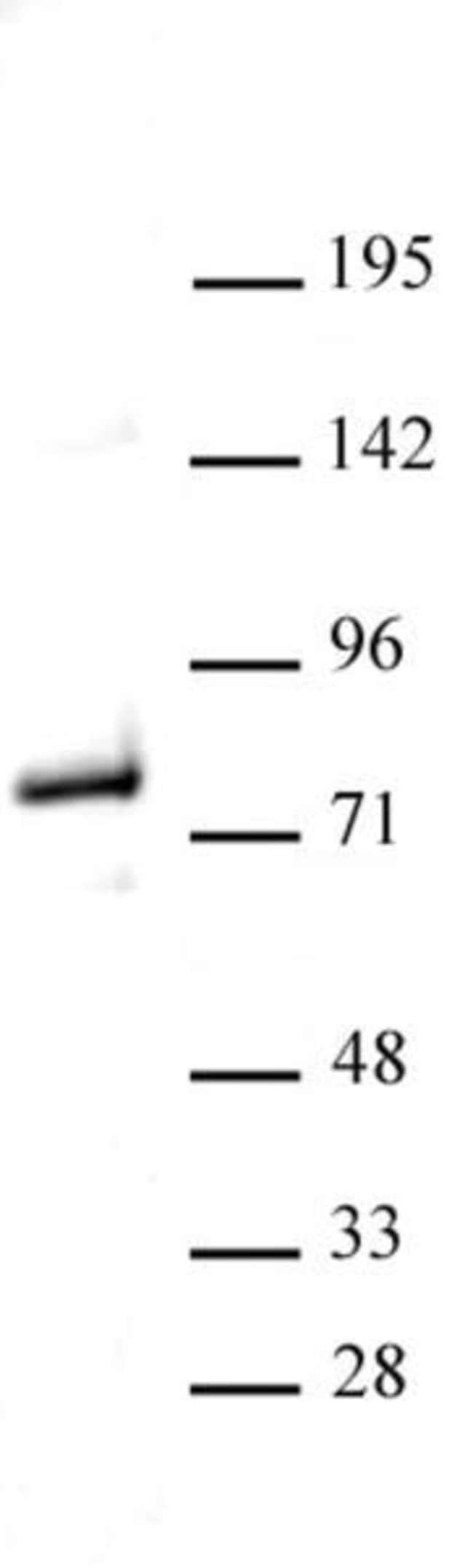 Menin Rabbit anti-Human, Mouse, Unconjugated, Polyclonal, Active Motif:Antibodies:Primary