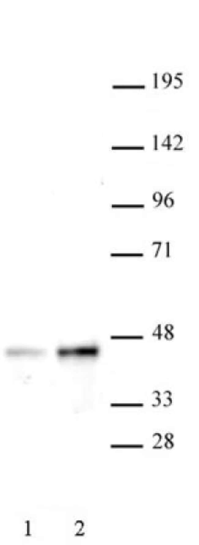 SET8 / PR-SET7 Rabbit anti-Human, Unconjugated, Polyclonal, Active Motif:Antibodies:Primary