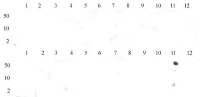 Histone H3K36me3 Mouse anti-Human, Mouse, Clone: MABI 0333, Active Motif:Antibodies:Primary