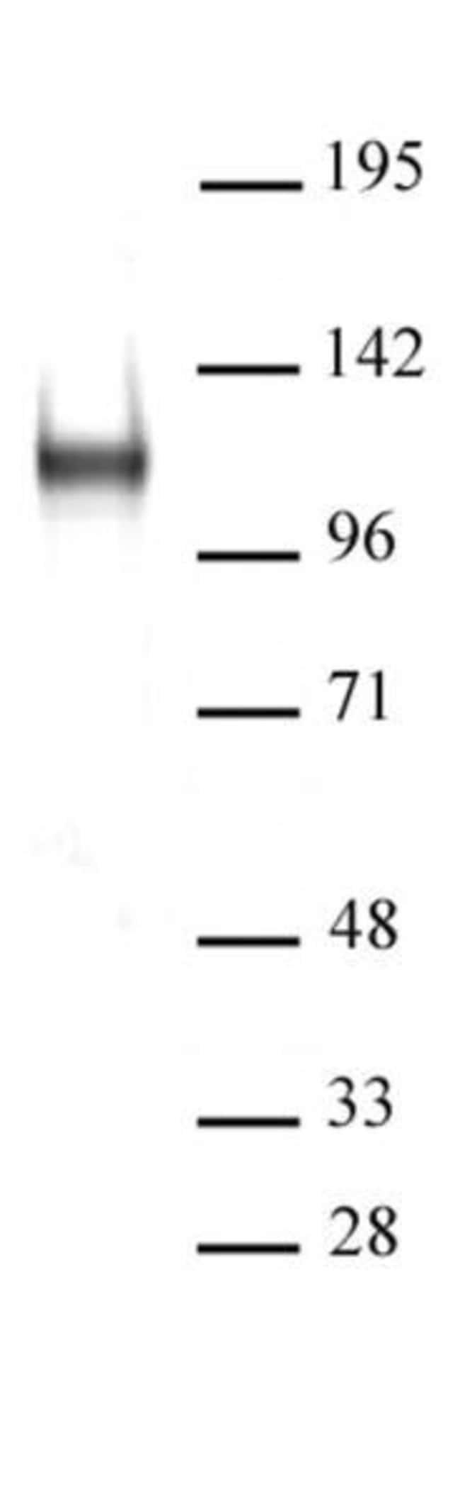 BCL11A / CTIP1 Rabbit anti-Human, Unconjugated, Polyclonal, Active Motif:Antibodies:Primary