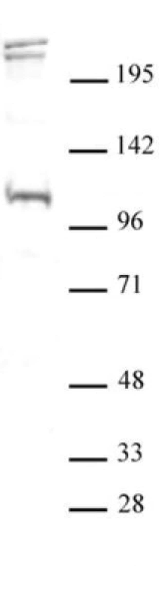 BLIMP1 / PRDM1 Rabbit anti-Human, Unconjugated, Polyclonal, Active Motif:Antibodies:Primary