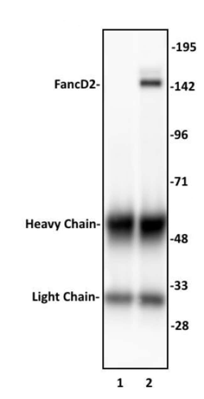 FancD2 Rabbit anti-Human, Unconjugated, Polyclonal, Active Motif:Antibodies:Primary