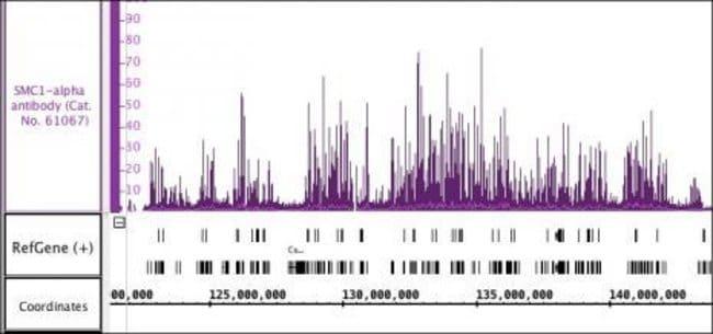 SMC1-alpha Rabbit anti-Human, Unconjugated, Polyclonal, Active Motif:Antibodies:Primary