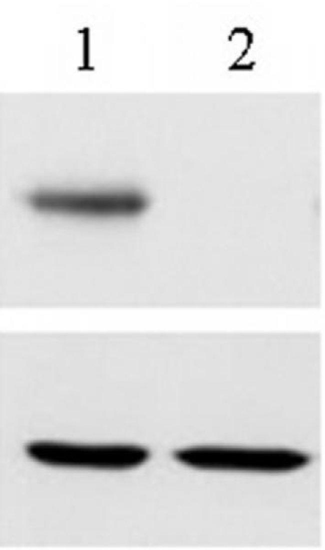 RBPJ Rat anti-Human, Clone: 7A11, Active Motif:Antibodies:Primary Antibodies
