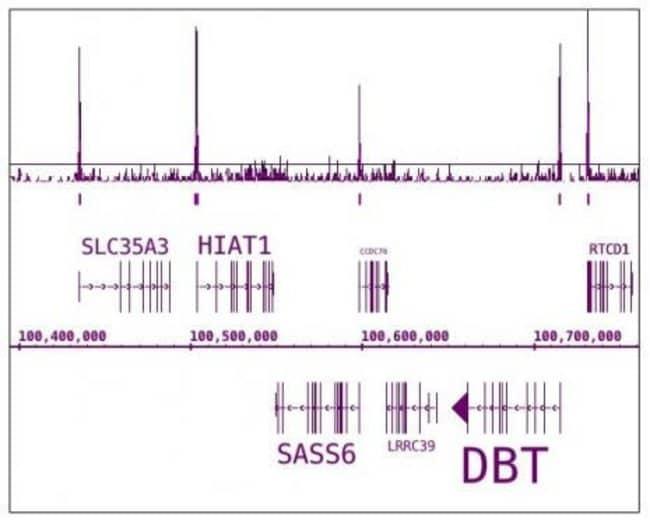 Phospho-RNA pol II CTD (Ser7) Rat anti-Human, Clone: 4E12, Active Motif:Antibodies:Primary