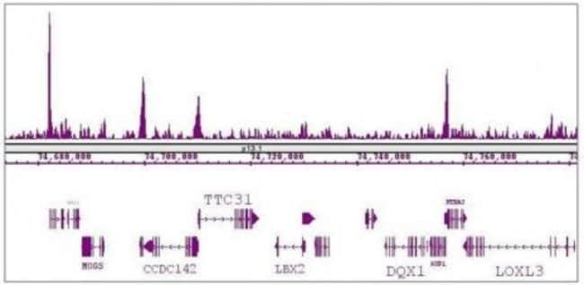KLF5 Rabbit anti-Human, Mouse, Unconjugated, Polyclonal, Active Motif:Antibodies:Primary