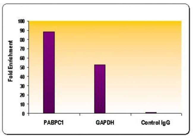 Histone H4K8ac Rabbit anti-Human, Mouse, Unconjugated, Polyclonal, Active
