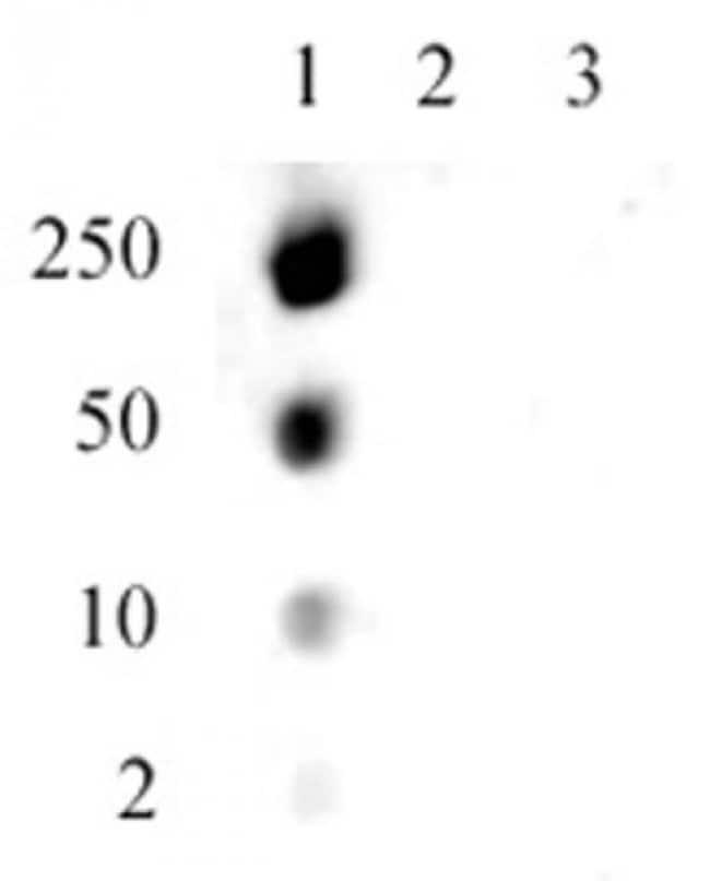 Histone H1.5S17ph Rabbit anti-Human, Unconjugated, Polyclonal, Active Motif:Antibodies:Primary