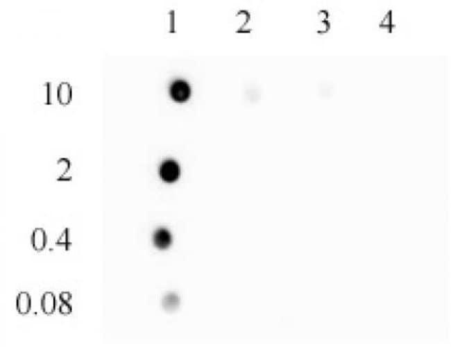 3-Methylcytosine (3-mC) Rabbit anti-Human, Mouse, Unconjugated, Polyclonal,