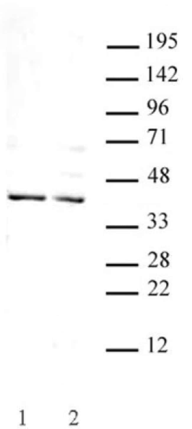 Goosecoid Rabbit anti-Human, Unconjugated, Polyclonal, Active Motif:Antibodies:Primary