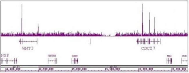 TCF7L1 / TCF3 Rabbit anti-Human, Unconjugated, Polyclonal, Active Motif:Antibodies:Primary