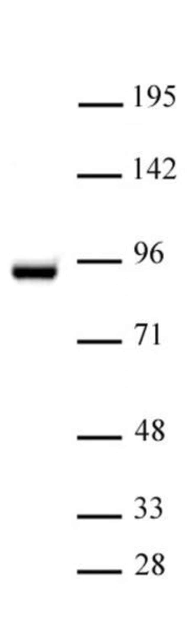 STAT5A Rabbit anti-Human, Unconjugated, Polyclonal, Active Motif:Antibodies:Primary