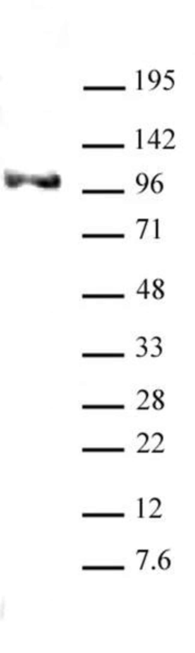 Notch1 Rat anti-Human, Rat, Clone: ICN 5B5, Active Motif:Antibodies:Primary