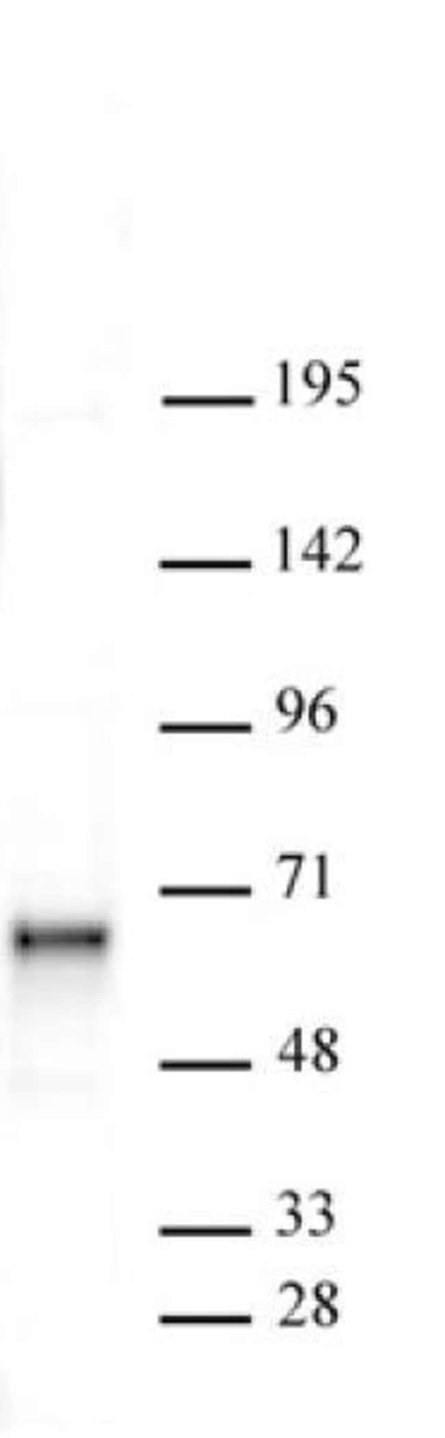 Sox11 Rabbit anti-Human, Unconjugated, Polyclonal, Active Motif:Antibodies:Primary