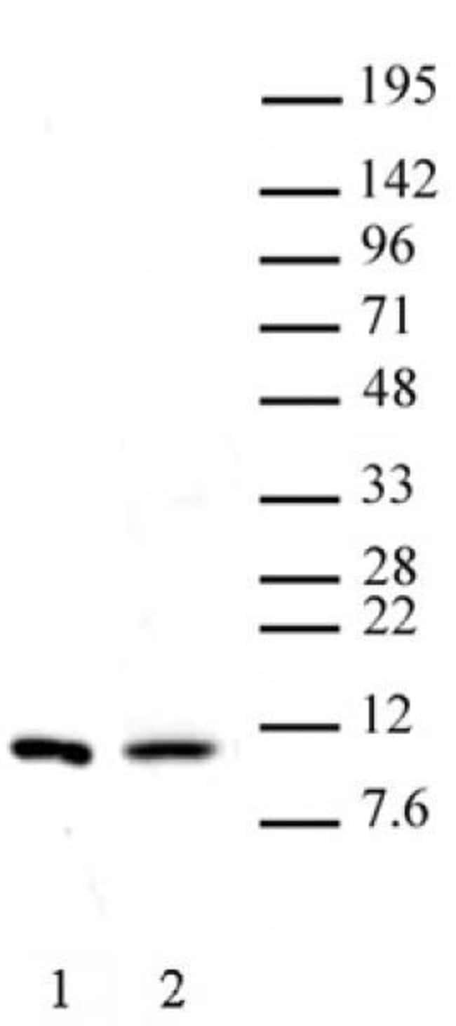 Histone H4R3me2s (symmetric) Rabbit anti-Human, Unconjugated, Polyclonal,