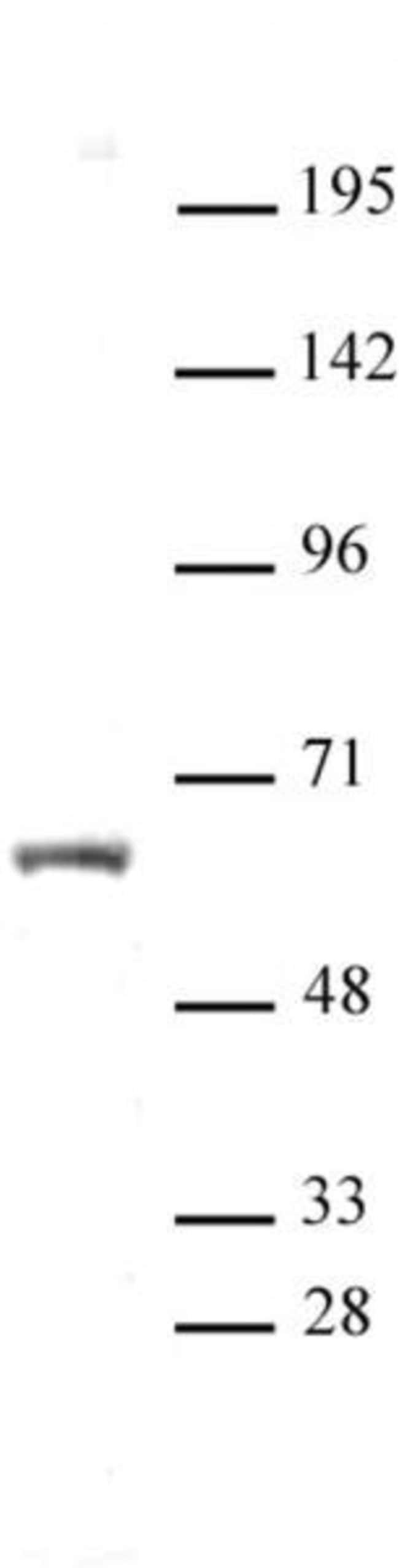 HNF4A Rabbit anti-Human, Unconjugated, Polyclonal, Active Motif:Antibodies:Primary