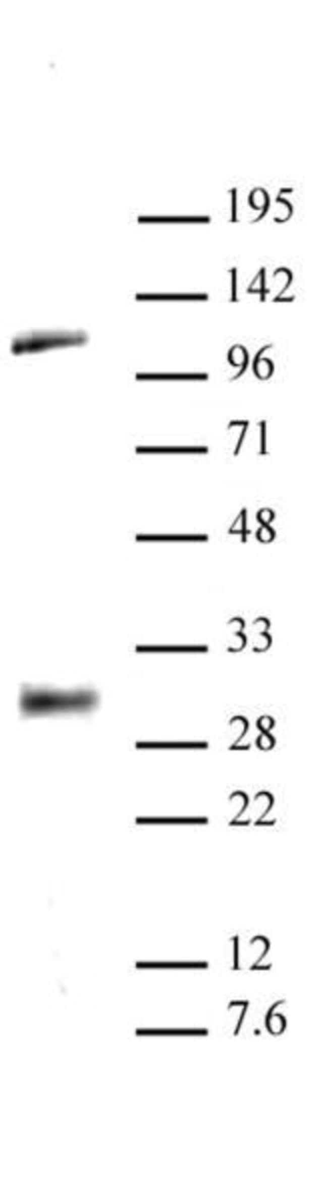 LIN28A Rabbit anti-Human, Mouse, Unconjugated, Polyclonal, Active Motif:Antibodies:Primary