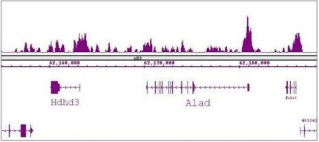 FOXG1 Rabbit anti-Human, Mouse, Unconjugated, Polyclonal, Active Motif:Antibodies:Primary