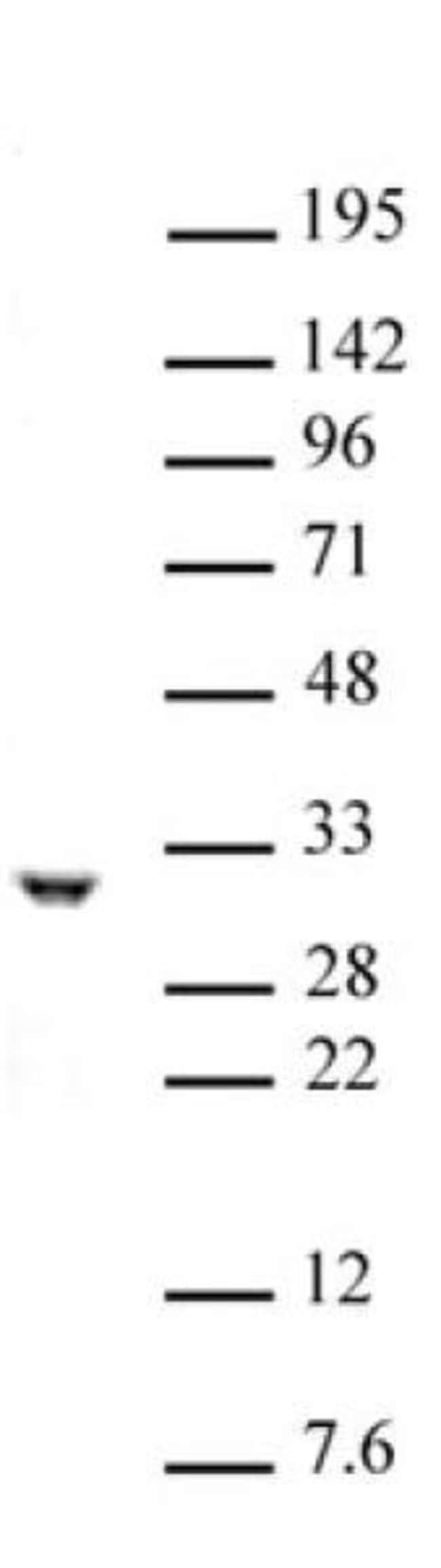 PHB / Prohibitin Rabbit anti-Human, Unconjugated, Polyclonal, Active Motif:Antibodies:Primary