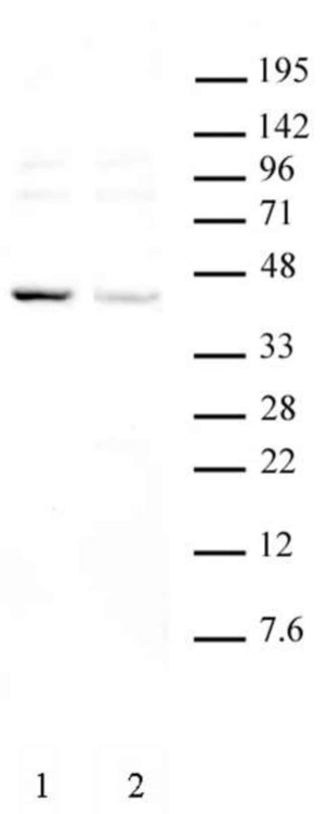 KLF6 Rabbit anti-Mouse, Unconjugated, Polyclonal, Active Motif:Antibodies:Primary