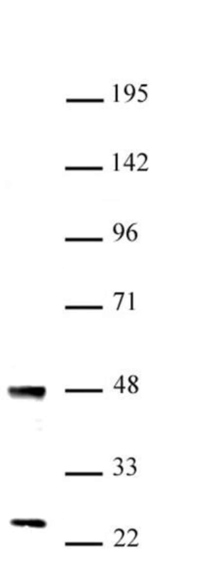 UTF1 Rabbit anti-Human, Mouse, Unconjugated, Polyclonal, Active Motif:Antibodies:Primary