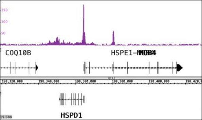 CTBP2 Rabbit anti-Human, Mouse, Unconjugated, Polyclonal, Active Motif:Antibodies:Primary