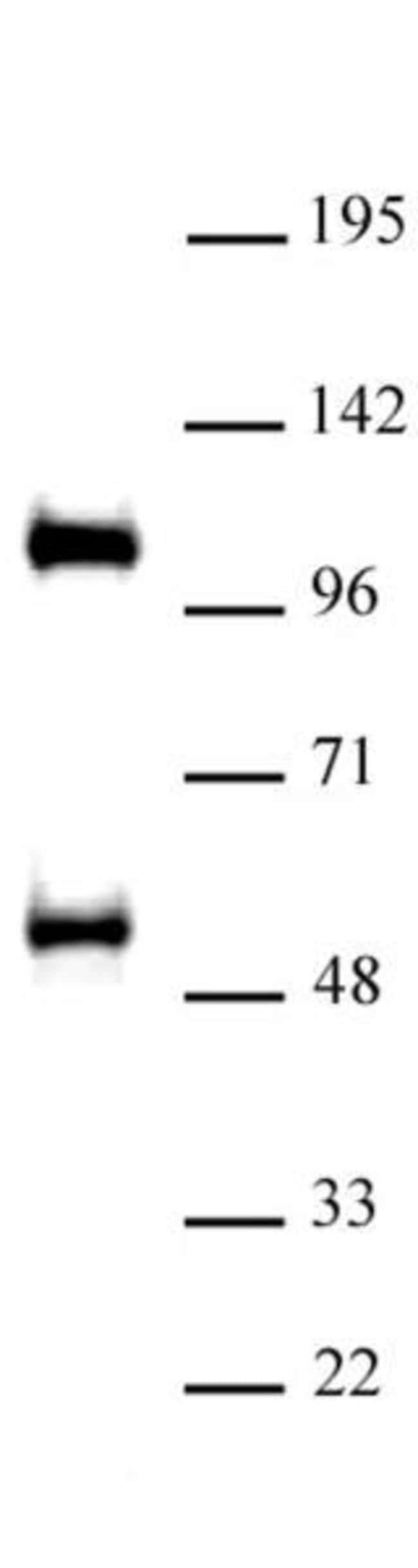 TAZ / WWTR1 Rabbit anti-Human, Unconjugated, Polyclonal, Active Motif:Antibodies:Primary