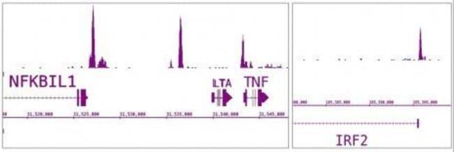 IRF-5 Rabbit anti-Human, Unconjugated, Polyclonal, Active Motif:Antibodies:Primary