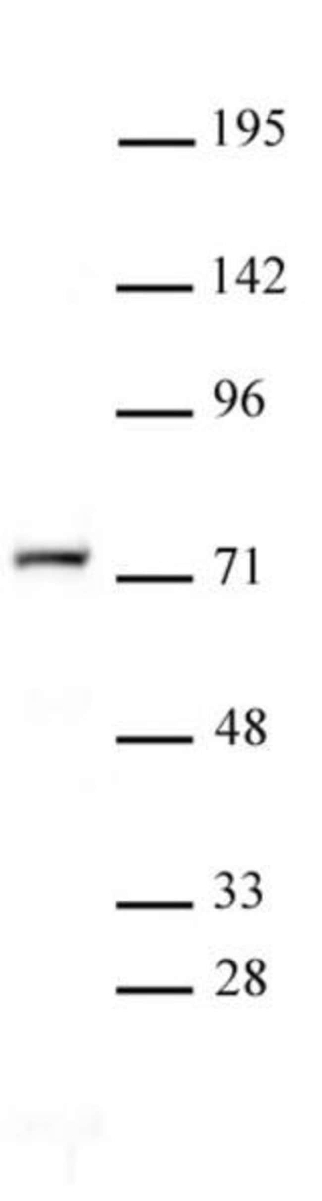 NR2C2 Rabbit anti-Human, Unconjugated, Polyclonal, Active Motif:Antibodies:Primary
