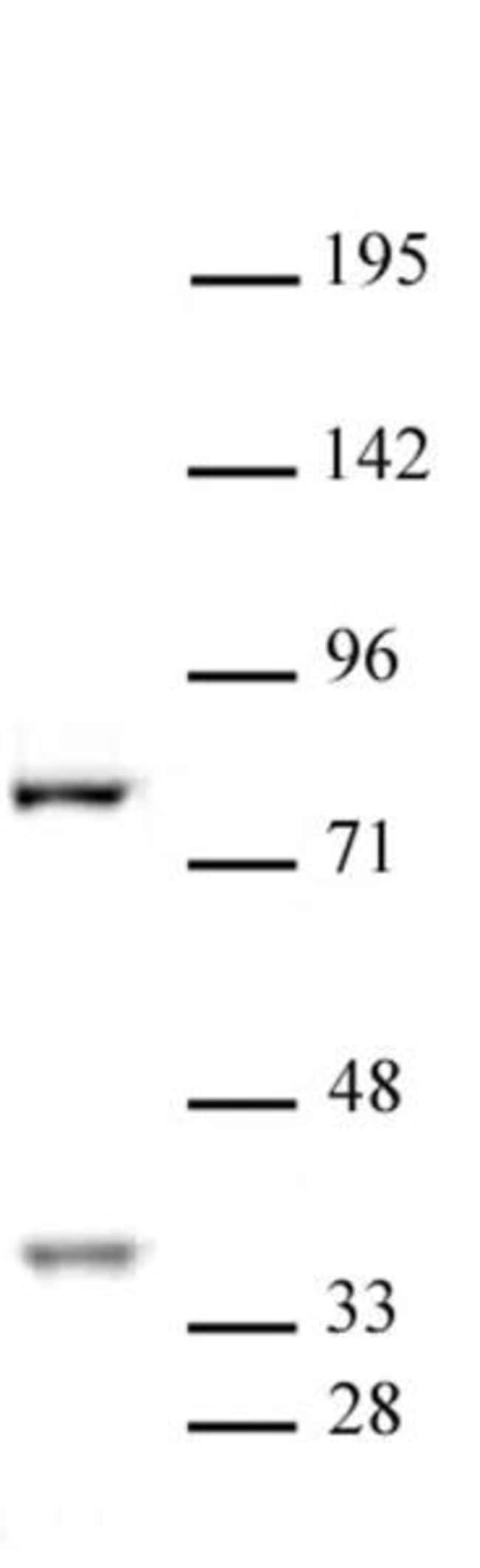 CENP-B Rabbit anti-Human, Unconjugated, Polyclonal, Active Motif:Antibodies:Primary