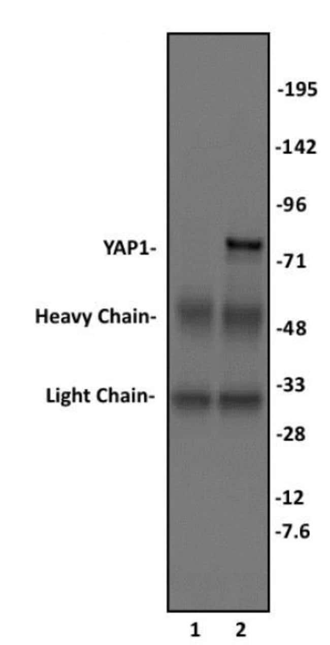 YAP1 Rabbit anti-Human, Unconjugated, Polyclonal, Active Motif:Antibodies:Primary