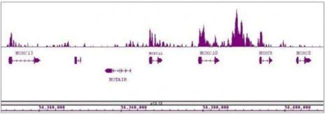 MLL / HRX Rabbit anti-Human, Mouse, Unconjugated, Polyclonal, Active Motif:Antibodies:Primary