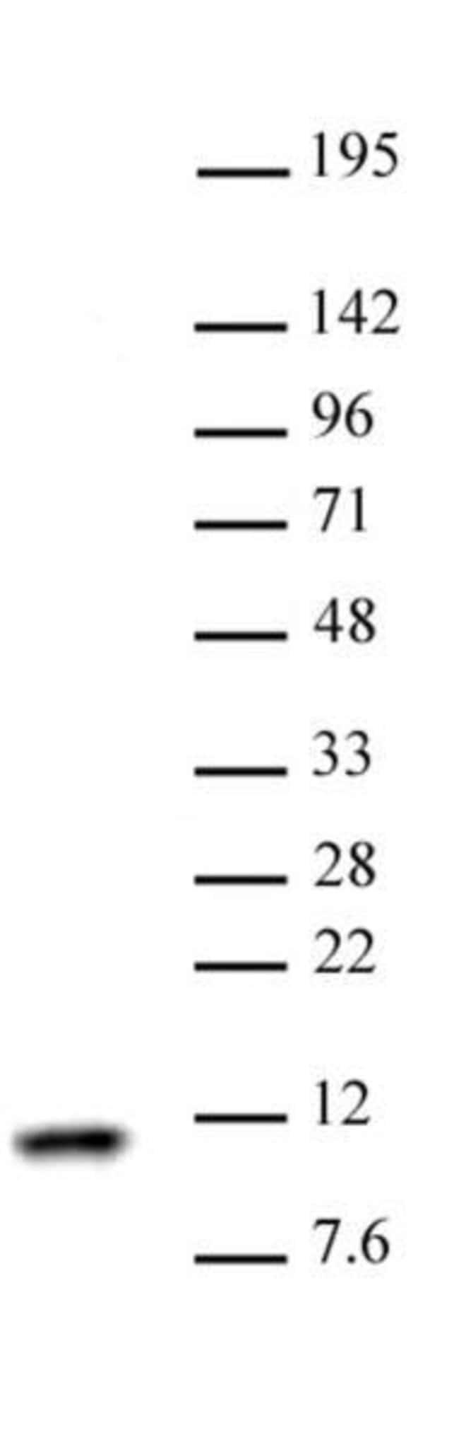 Histone H4 Rabbit anti-Human, Unconjugated, Polyclonal, Active Motif:Antibodies:Primary