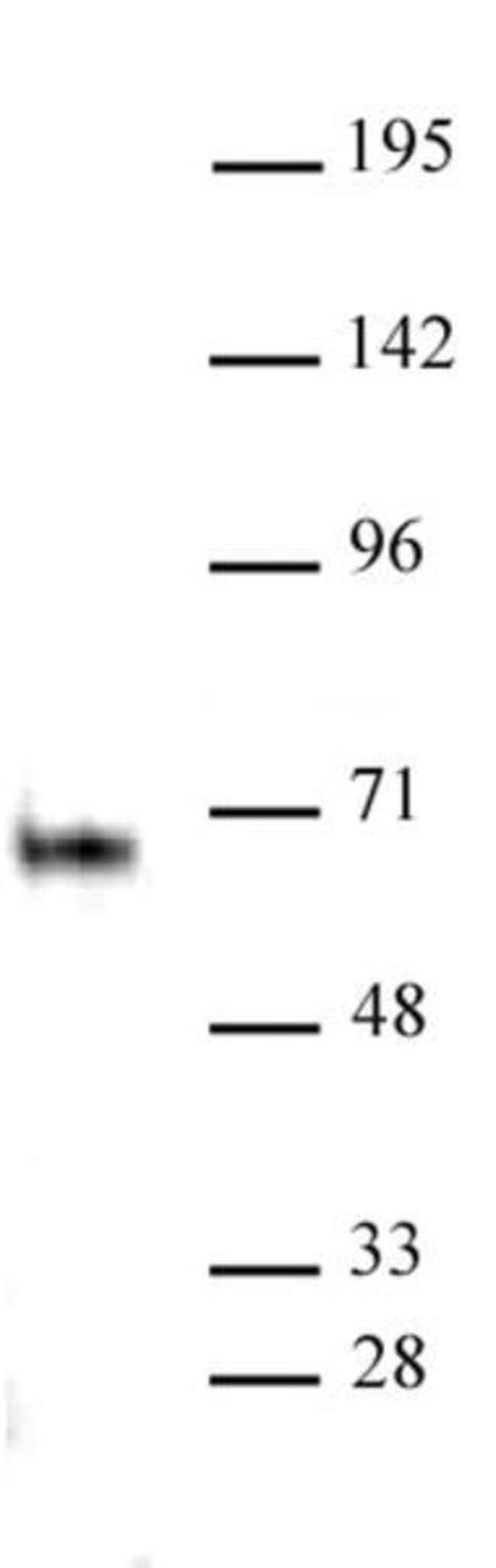 Elk-1 Rabbit anti-Human, Unconjugated, Polyclonal, Active Motif:Antibodies:Primary