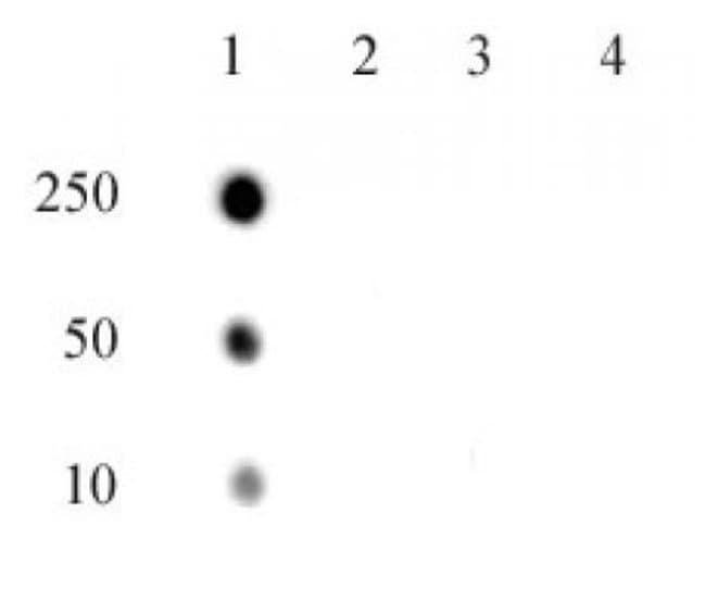 Phospho-RNA pol II CTD (Thr4) Rabbit anti-Human, Unconjugated, Polyclonal,