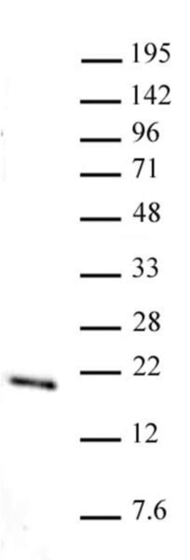 Histone H3K36me1 Rabbit anti-Human, Unconjugated, Polyclonal, Active Motif:Antibodies:Primary